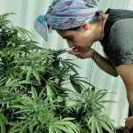 為何大麻曾被英國女皇當止痛藥,後來卻成全球禁止的毒品?原來它有這段不為人知的歷史…