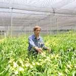 台中花農年產約100萬支文心蘭 響應花博推廣在地花卉
