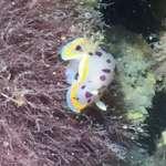 台灣本島首見!大潭藻礁現珍貴物種 小丘多彩海蛞蝓