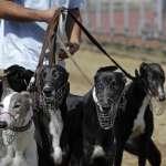 曾經全力奔馳,如今曲終「狗」散》澳門賽狗走入歷史,533隻「格力犬」前途未卜