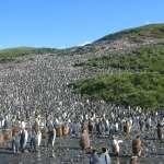全球最大無人企鵝島之謎:國王企鵝數量35年來暴減9成,科學家還在找原因