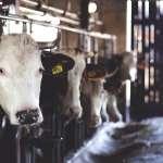 人把手插進牛屁股裡,是對牛進行性虐待?網路瘋傳「恐怖乳品業」真相一次還原