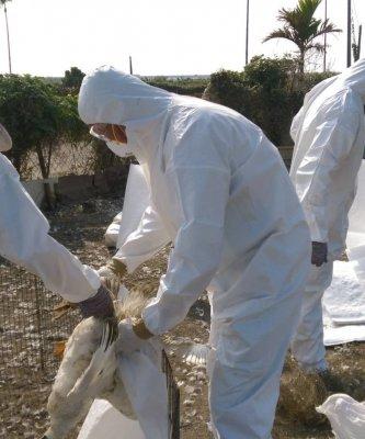 禽流感屏東也淪陷 2255隻肉鴨緊急撲殺