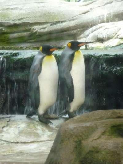 德國的同性戀企鵝情侶最後得以雙宿雙飛,還負責幫母企鵝孵蛋。(圖/Sheep purple@Flickr)
