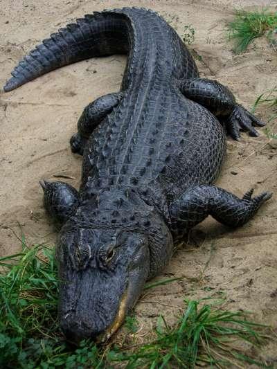 美洲短吻鱷。(圖/Postdlf@wikipediaCC BY-SA 3.0)