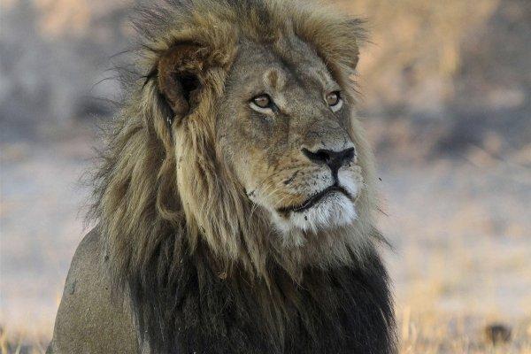 非洲大草原悲劇重演!辛巴威獅王西塞爾2年前遭獵殺 如今輪到牠6歲的兒子