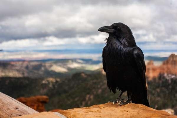 為何烏鴉會從「神鳥」變成不吉利的象徵,連「搭橋讓牛郎織女相會」的工作都被喜鵲篡位?