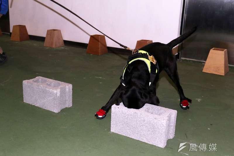 20180201-憲兵指揮部安排警衛大隊軍犬分隊接受媒體訪問,演練開始後,由領犬員帶領犬隻搜索帶有爆裂物氣味的物品。(蘇仲泓攝)