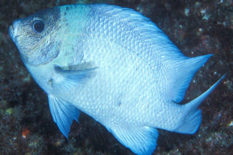 克馬德克海域的特有魚類(維基百科)