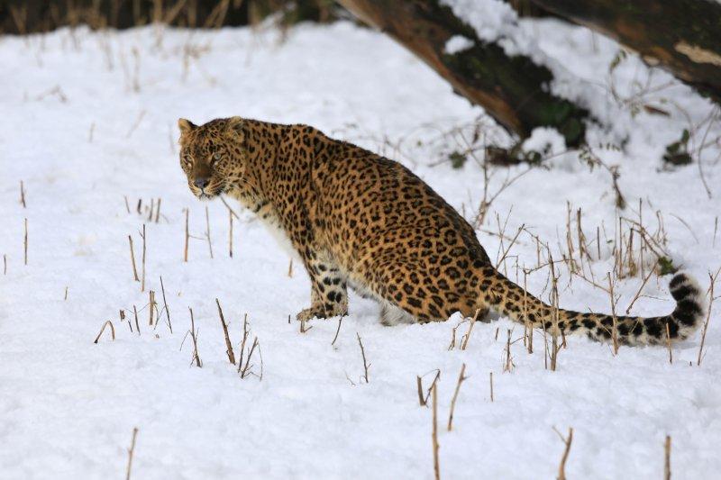 豹類生物在地球上的習慣棲地已大幅減少75%。(美聯社)