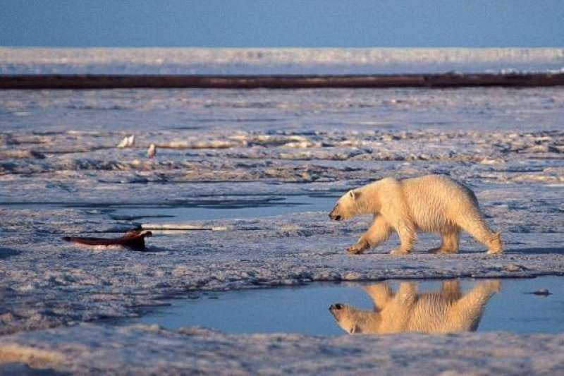 全球暖化也讓北極熊的生存面臨威脅(AP)