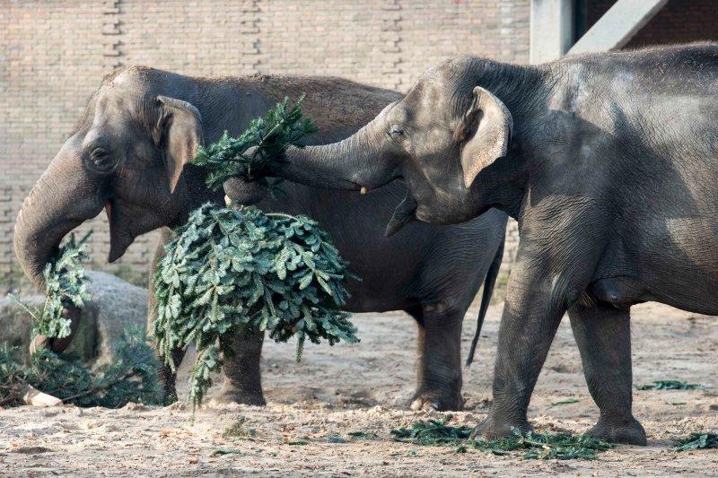 人類不要的聖誕樹對大象而言是完美的零食。(圖/柏林動物園)