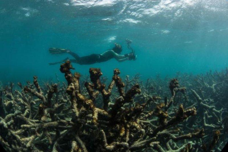 澳洲大堡礁的白化情況嚴重,這是蜥蜴島(Lizard Island)的死亡珊瑚礁(AP)