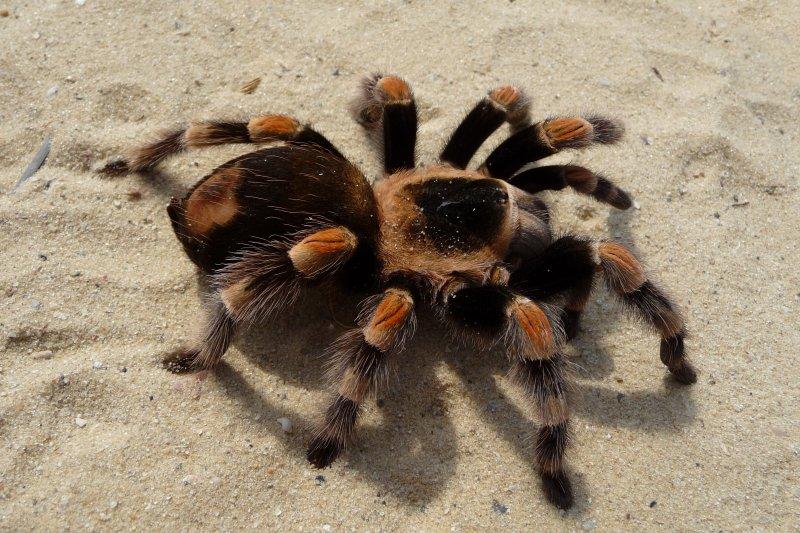 狼蛛(tarantula)(Wikipedia / Public Domain)