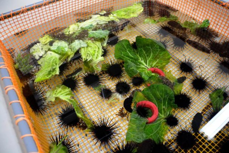 紫海膽食用高麗菜的情形=攝於4月24日(圖/日本購物攻略提供)
