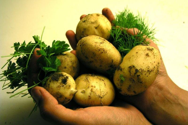 美國基改馬鈴薯叩關,農委會副主委陳吉仲表示,是否開放尊重衛福部。(Tommy Hemmert Olesen@flickr/CC BY-SA 2.0)