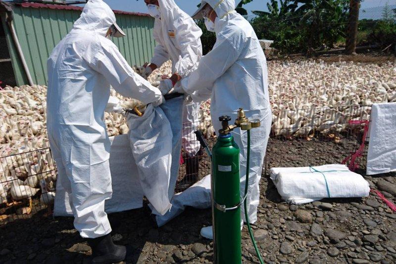 雲林縣一間鴨場昨傳出確診H5N2禽流感,14日3915隻北京鴨已遭撲殺。圖為示意圖。(資料照,屏東縣動物防疫所提供)