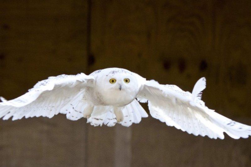 正要降落的雪鴞。(美聯社)