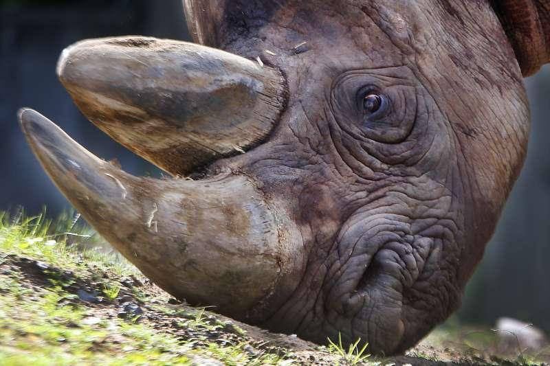 人類盜獵犀牛角情況嚴重,導致犀牛在未來10年恐怕從野外消失(AP)