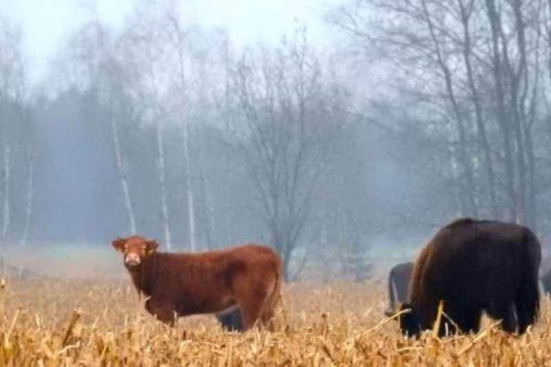 「人養牛是為了耕地,有人是為了賣肉,有人是為了擠奶。我家的牛呢,似乎只是為了杵那兒好看。」(資料照,BBC中文網)