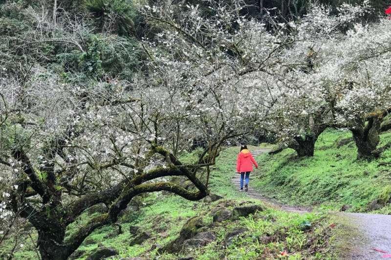 冬季天氣冷冽的信義鄉孕育出品質優良的梅子。(圖/行政院農委會提供)
