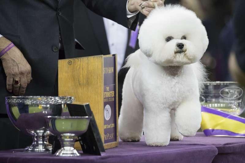 2018年2月,美國「西敏寺犬展」(Westminster Kennel Club Dog Show)總冠軍福臨(Flynn)(AP)