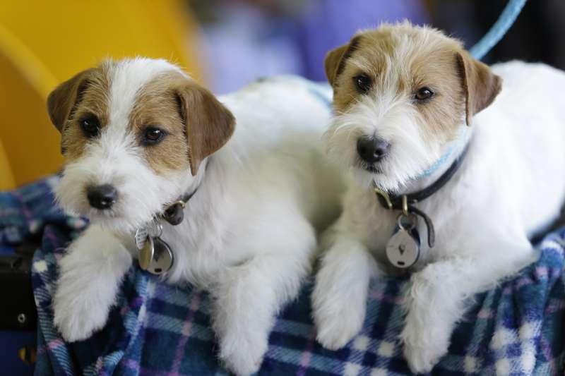 2018年2月,美國「西敏寺犬展」(Westminster Kennel Club Dog Show)(AP)