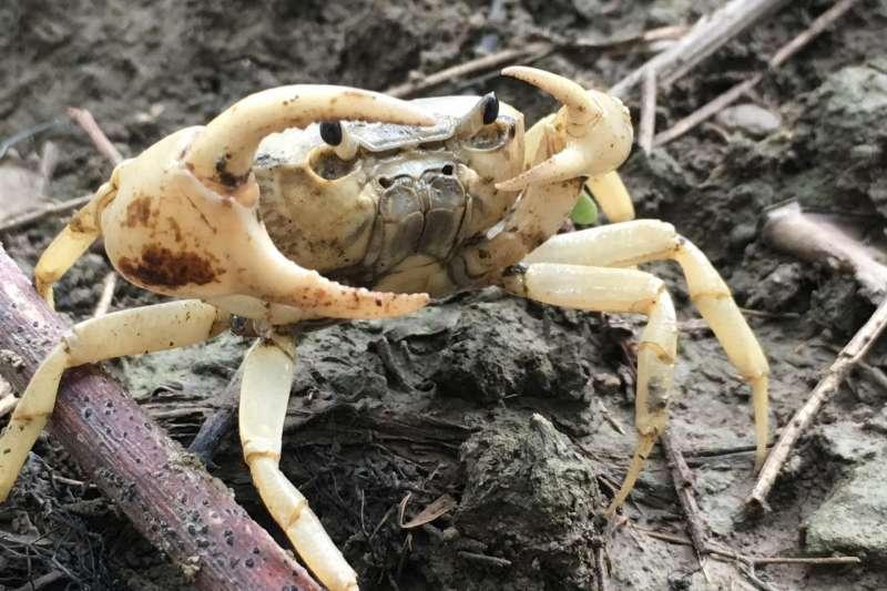 陸蟹專家劉烘昌在場內發現數量龐大的厚圓澤蟹,印證馬頭山存在豐沛的地下水。