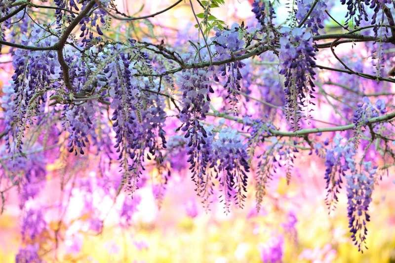 一年一度的嘉義瑞里紫藤花季3月10日起熱情綻放。(圖/嘉義縣政府提供)