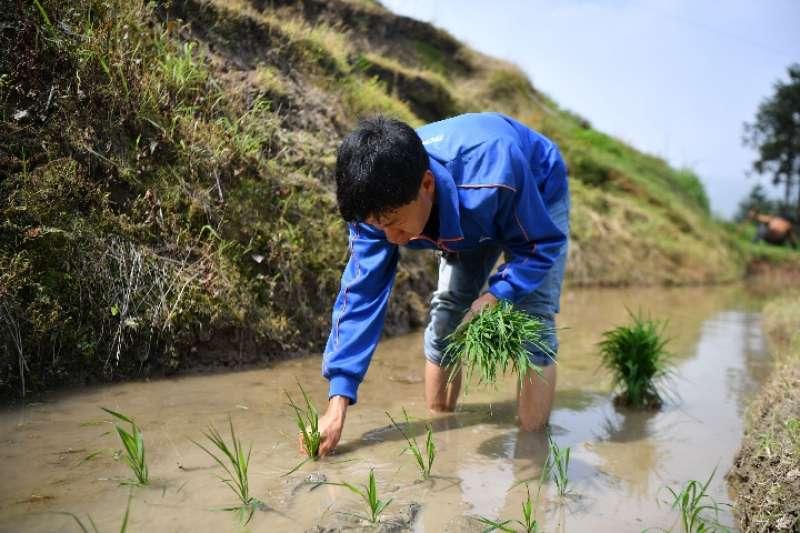 農民在湖南省婁底市新化縣紫鵲界梯田進行插秧作業。(新華社)