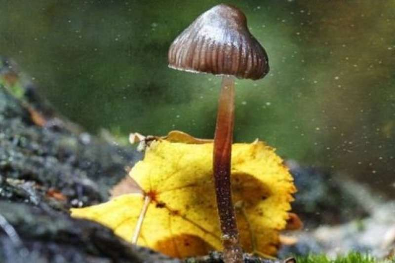 迷幻蘑菇(magic mushrooms)。(BBC中文網)