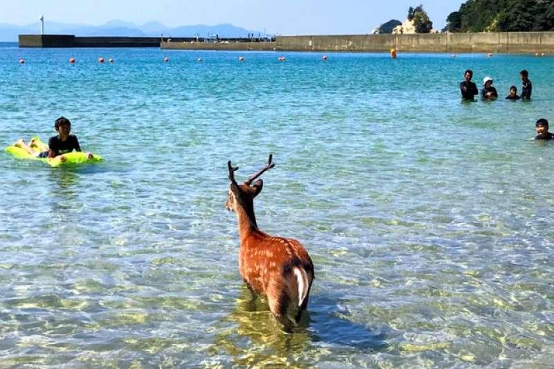 站著泡海水的鹿。(圖/潮日本)