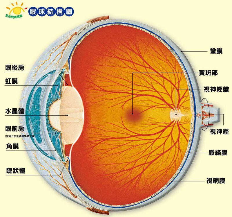 眼球構造(取自網路)