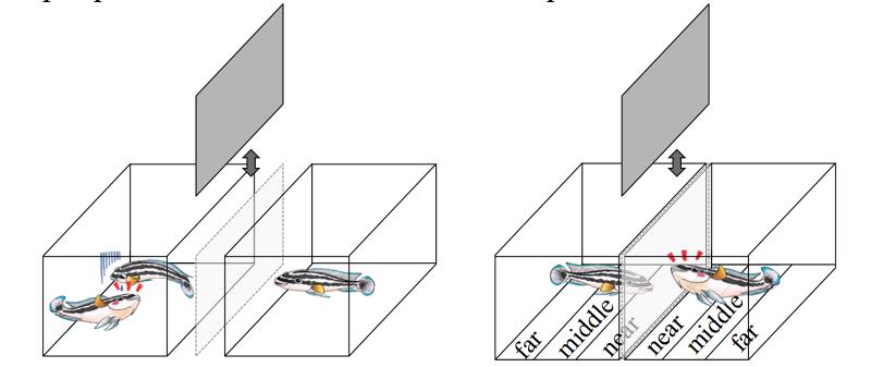 研究人員發現,雲斑尖嘴麗魚在觀察到其他同類爭鬥的勝負後(圖左),會對獲勝者採取逃跑等示弱舉動。(翻攝Frontiers in Ecology and Evolution網站)