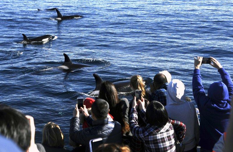 虎鯨沒有天敵,卻因為人類捕捉和汙染面臨生存威脅。(美聯社)