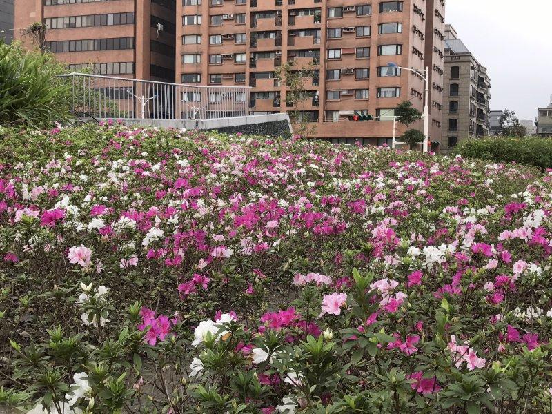 2017台北杜鵑花季,大安森林公園(北市府)