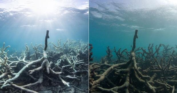 左圖是大堡礁2016年3月白化的珊瑚礁,這個白化的珊瑚礁在同年5月死亡(右)(美聯社)