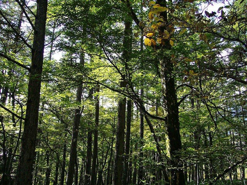 日月光在台灣中南部與東部植林、復育近86公頃土地,成林後每年可為吸收1,100公噸二氧化碳(圖/擷取自維基百科)