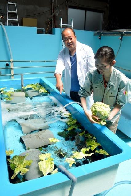 主任研究員臼井一茂(左)等人剝下高麗菜葉給水槽內的紫海膽食用=攝於4月24日(圖/日本購物攻略提供)