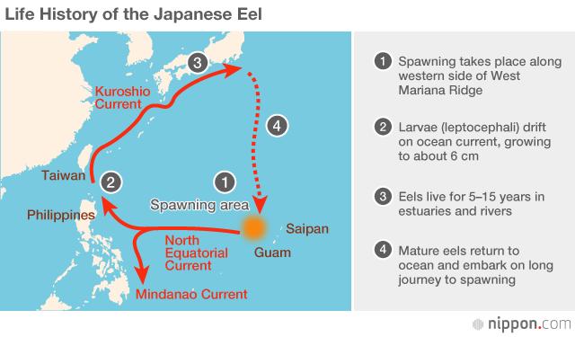 鰻魚迴游路線。(圖/日本網)