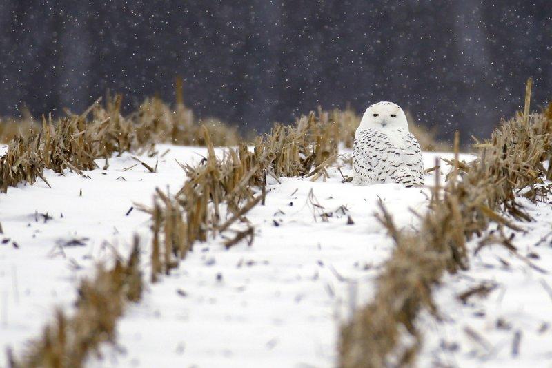 雪地裡的野生雪鴞。(美聯社)