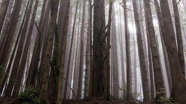 古老的紅木樹林。(圖/澎湃新聞提供)