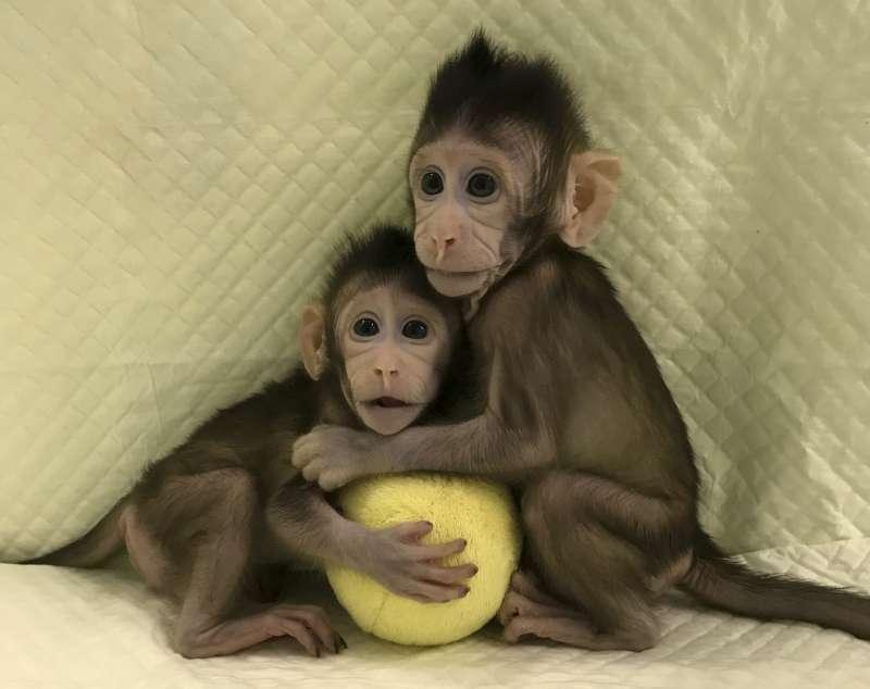 2018年1月25日,中國科學院神經科學研究所日宣布,世界上批體細胞複製猴「中中」與「華華」已在2017年底誕生(AP)
