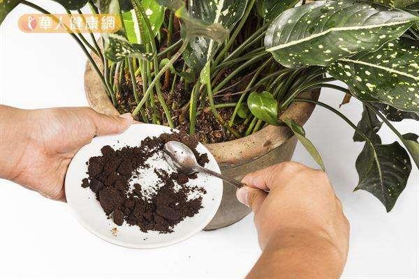 咖啡渣也能當作盆栽的肥料,一舉兩得喔。(圖/華人健康網提供)