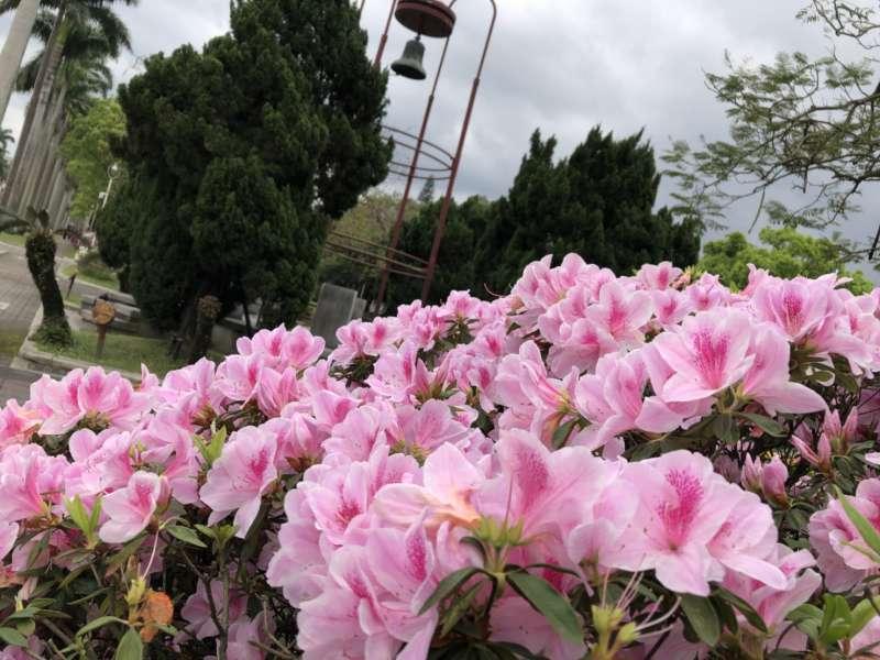 台大、台灣大學、椰林大道、杜鵑花、傅鐘。(呂紹煒攝)