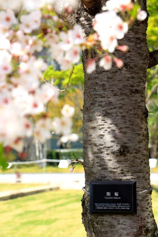 「剛櫻」並非特殊的櫻花品種,而是KinKi Kids成員堂本剛所栽種的櫻花樹,位於橫濱的街道上。(圖/想想論壇提供)
