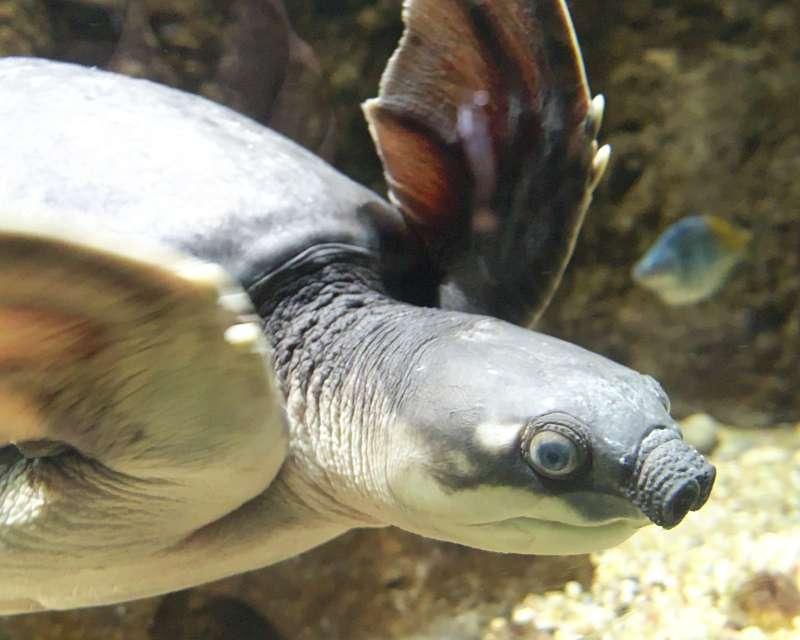 同樣列名瀕危物種名單的象鼻龜。(維基百科公有領域)