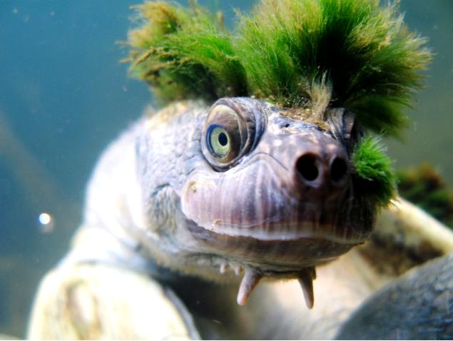 隱龜頭上的綠色「毛髮」其實是藻類生長。(YouTube截圖)