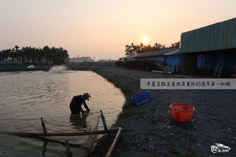 段泰國蝦一家人常清晨就到產地抓蝦。(圖/段泰國蝦)