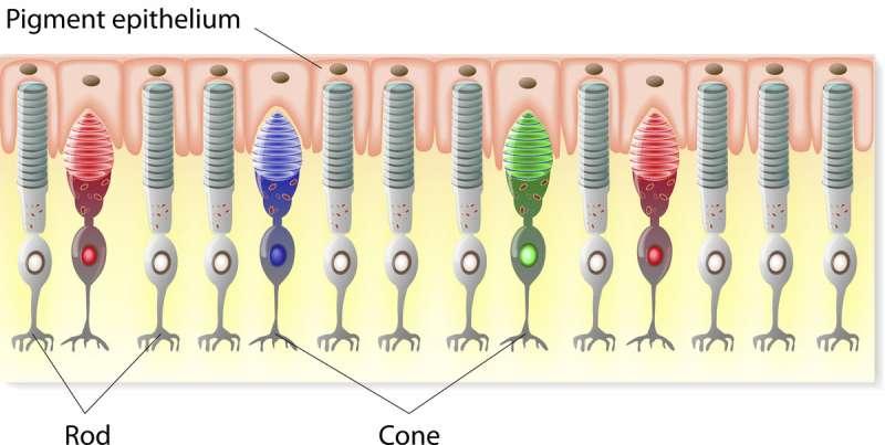 視網膜桿細胞(Rod)和視網膜錐細胞(Cone)。(圖/網路)